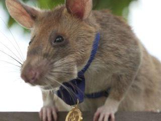 Hero Rat