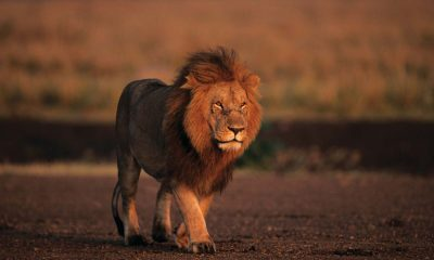 South Africa to ban private breeding of lions