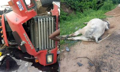 Fulani herdsmen accident cow Lagos-Ibadan expressway